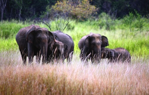 Wildlife in Sri Lanka - Elephants