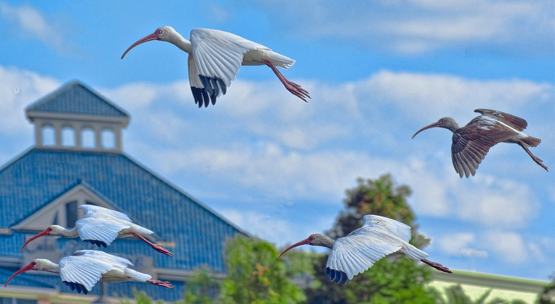 Migration trends in Europe - Cranes flying