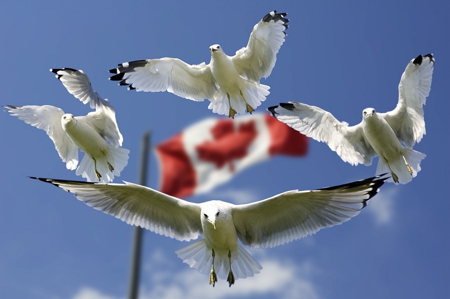Sea gull flying with canada flag in background